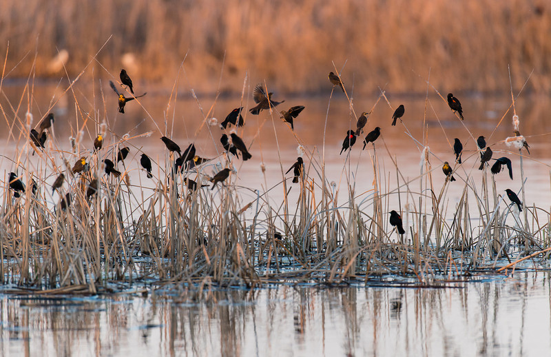 yellow-headed and red-winged blackbirds