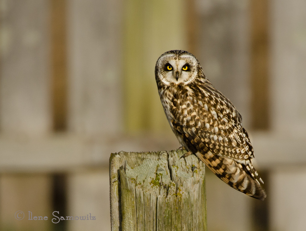 Short-eared Owl on Fence Post<br /> Boundary Bay, British Columbia, Canada
