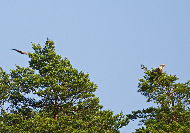 Havsörn<br /> Åland, Finland<br /> <br /> .