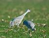 Sandill cranes, Woodbridge preserve