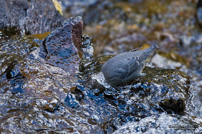 American Dipper (Cinclus mexicanus).  The American Dipper is North America's only truly aquatic songbird.  Американская оляпка.