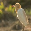 Egret in breeding colours