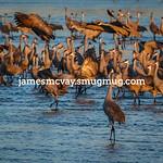 Sandhill Cranes on the Platte River in Nebraska