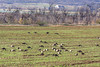Canadian Geese Feeding In A Field ,Southern California (Branta canadensis)