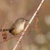 Tailorbird from Mui Wo