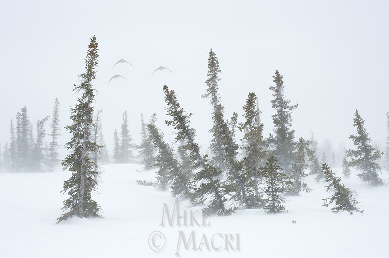 Early migrating Canada geese are met with a snowstorm in Churchill Manitoba.