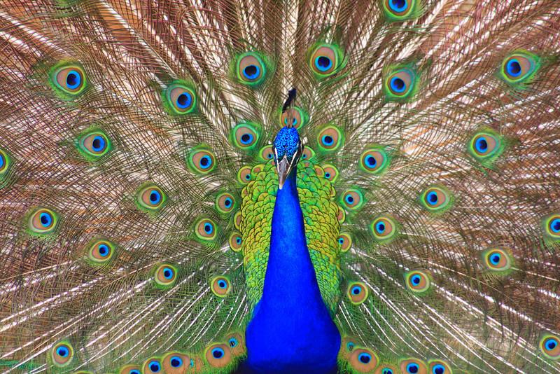 Peacock (Pave eristatus)