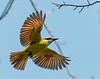 Flycatcher, Quintana Roo Mexico