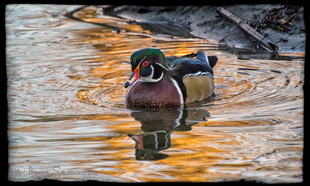 2-15-13 The Wood Duck in Golden Light - I visited our local park with my Nikon 1V1 and my Nkon 70-300vr lens.  I shot a number of images of ducks while walking my two mini wire hair dachshunds.  I struggled a little with zooming and balancing one handed but my handheld success rate at 400-810 with VR in fading light was about 75%.