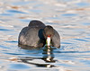 American coot feeding at Cosumnes River Preserve