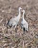 A pair of sandhill cranes, Staten Island, Cosumnes River Preserve