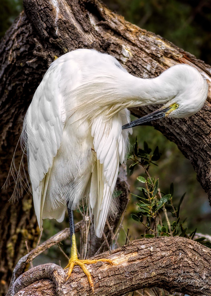 Silkehejre - (Egretta garzetta) - Little Egret