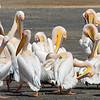 White Pelican - Pelecanus rufescens - Lake Nakuru