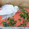 Small Egret