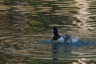 Ring-necked Duck (Aythya collaris). The Ring-necked Duck is a smaller diving duck from North America.  Ошейниковая чернеть, или кольчатая чернеть.