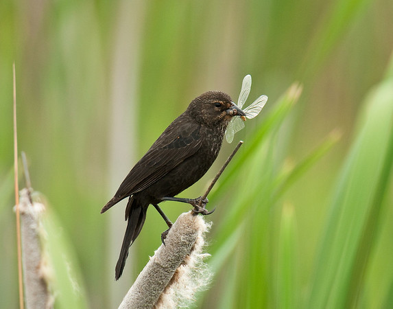 Female red winged blackbird with damselfly