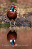 Cock Pheasant and reflection