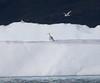 Iceland Gulls<br /> Narsarsuaq