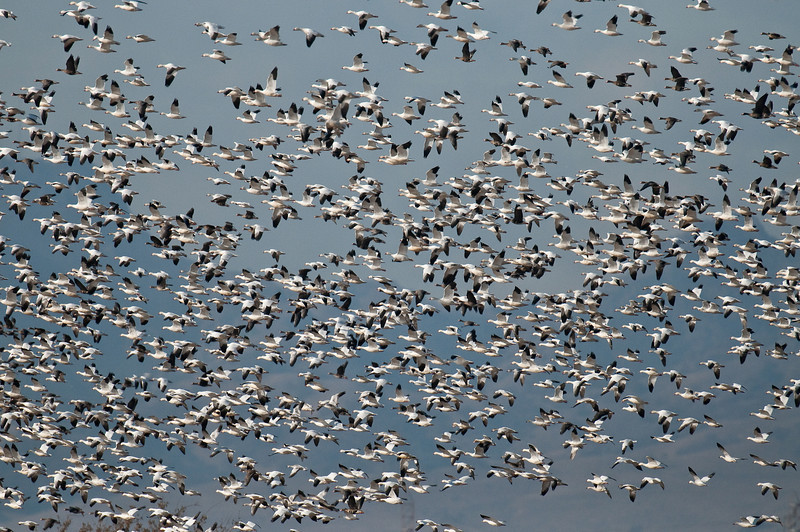 Snow geese can travel thousands of miles to their wintering grounds