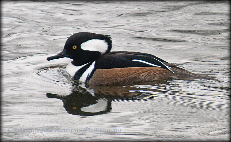 Hooded Merganser<br /> Meadowbrook Park, Seattle, WA