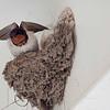 Barn Swallow from Mui Wo