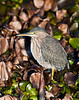Green Heron, Woodbridge Ecological Preserve