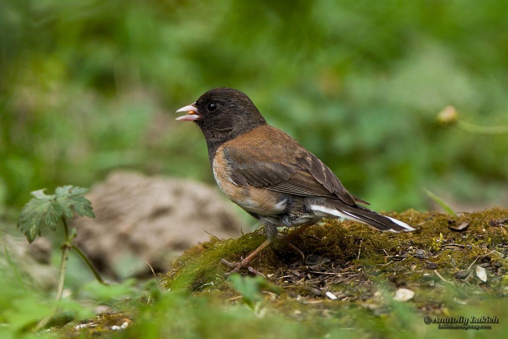 IMAGE: http://lukich.smugmug.com/Birds/Birds/i-CDHcRVF/0/XL/20120718_6518-XL.jpg