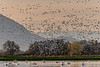 snow geese and Sutter Buttes