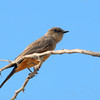 Say's Phoebe at Coachella Wildlife Preserve