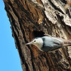 White-breasted  Nuthatch at Covington Park right next to Big Morongo,CA.