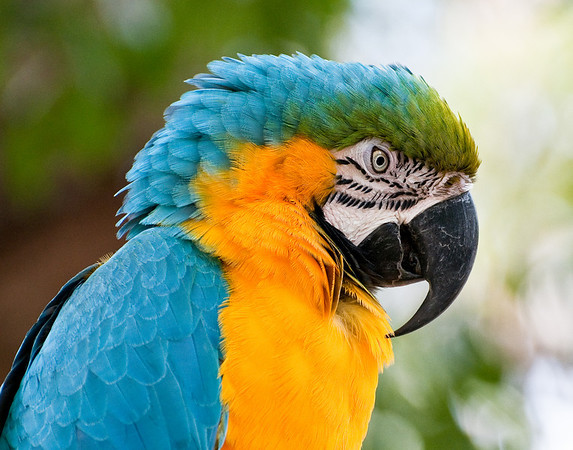 Blue and gold macaw, St. Augustine Alligator Farm