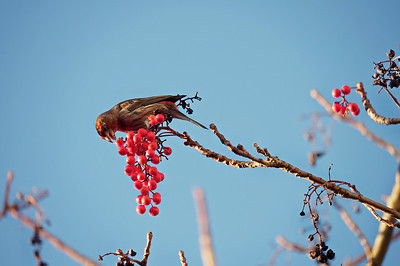 Male House Finch, Seattle 2014
