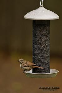 Song Sparrow (Melospiza melodia) at bird feeder. Певчая зонотрихия