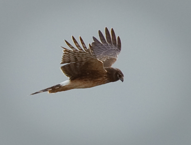 Northern Harrier, Rawlins Road, Fir Island, WA