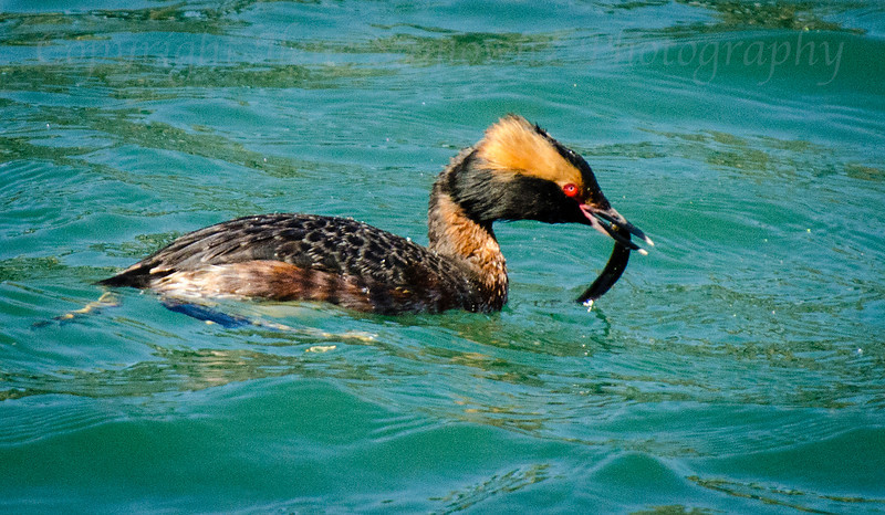 Horned Grebe in Breeding Plumage<br /> Tillamook Bay, Garibaldi, Oregon
