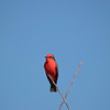 Isolated Red and Black songbird perched on twig