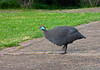 Hjälmpärlhöna - Helmeted Guineafowl -<br /> South-Africa<br /> <br /> .