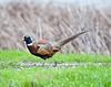 Ringneck pheasant, Sacramento NWR