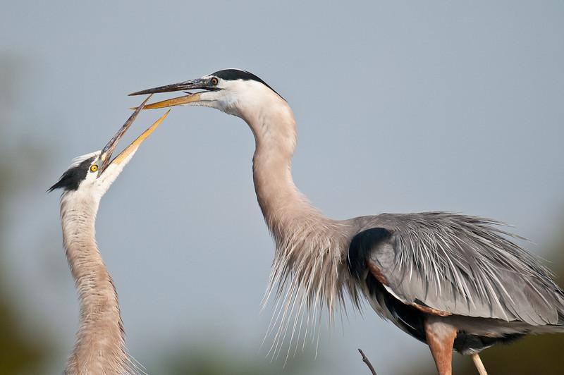 Breeding pair or great blue herons