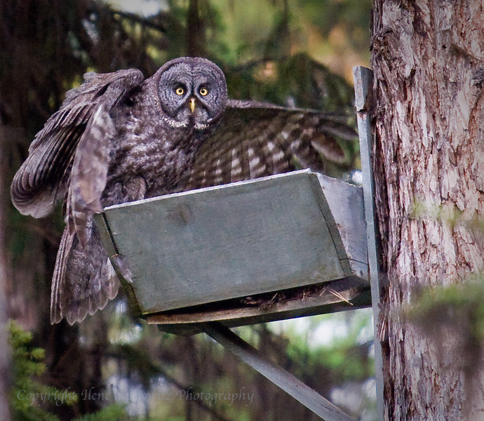 Great Grey Owl on Nest Box