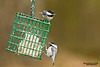 Black-capped Chickadee (Poecile atricapillus).  The Black-capped Chickadee (Poecile atricapillus) is a small, common songbird, a passerine bird in the tit family Paridae.  Черношапочная гаичка