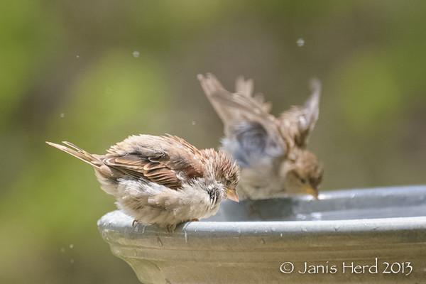 Baby Sparrows, Central Texas