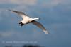 Whooper Swan in flight