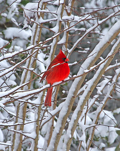 Northern Cardinal in the snow