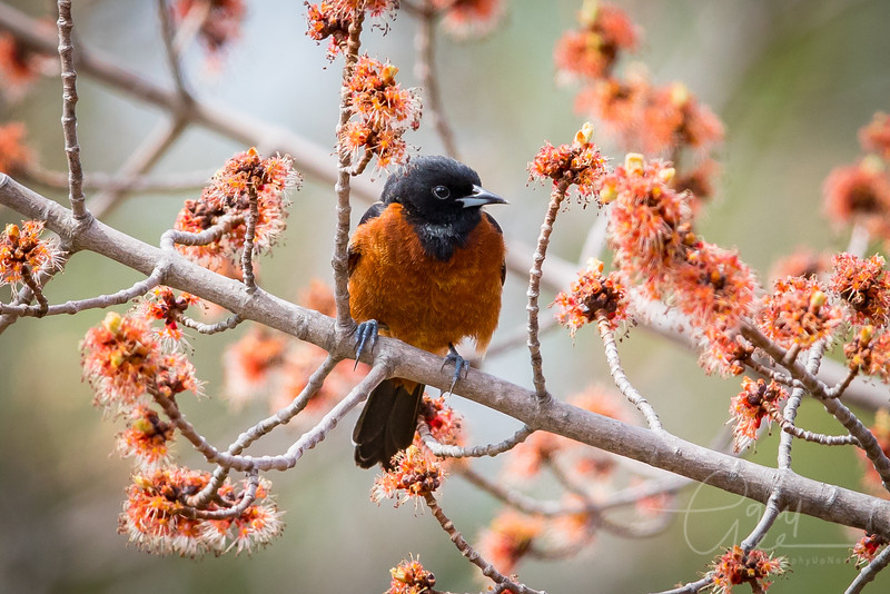 Orchard Oriole Image