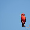 Red and black songbird perching on small twigs