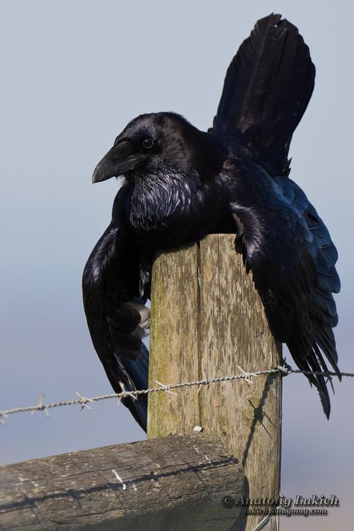 IMAGE: http://lukich.smugmug.com/Animals/Birds/i-G8vmSBF/0/XL/2011110241511-XL.jpg