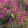Golden plover in purple vetch.