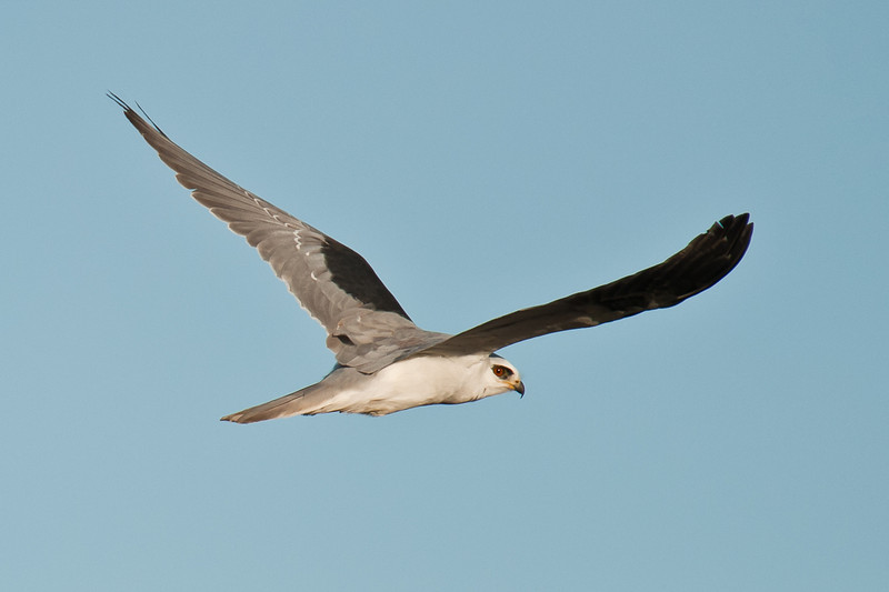white-tailed kite, Cosumnes River Preserve
