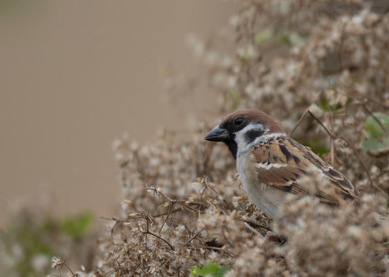 Wood sparrow feeding on winter flowers near my kitchen window